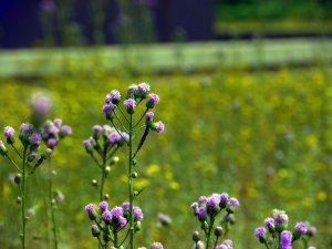 flowers at Yinxu